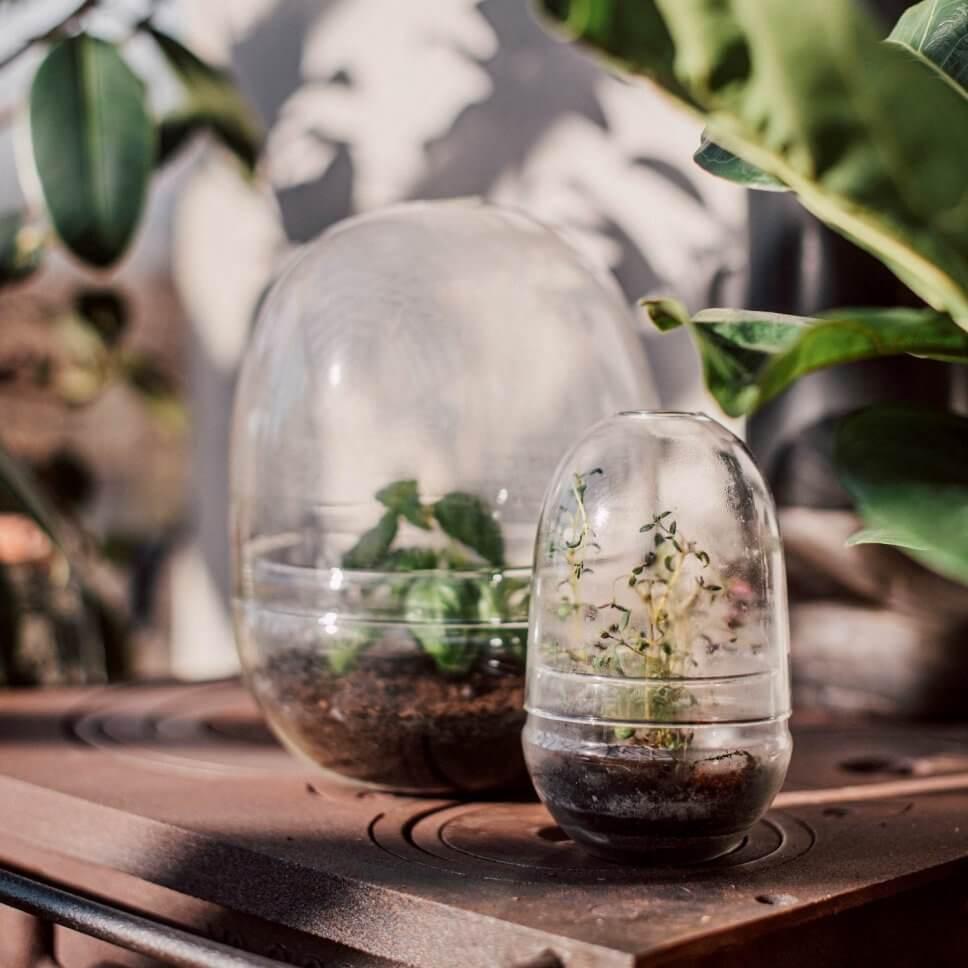 Anzuchthauben aus Glas mit kleinen Pflänzchen