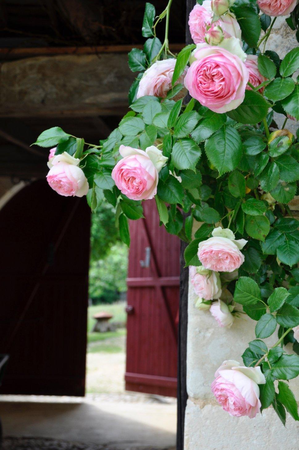 Blühende Rosen in altem französischen Landhaus